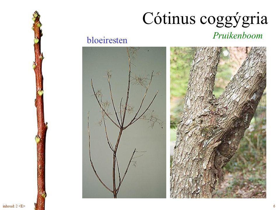 Cótinus coggýgria Pruikenboom bloeiresten inhoud: 2 <E> 6