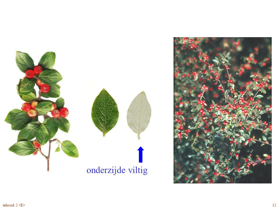 Cotoneaster dielsianus blad, vrucht