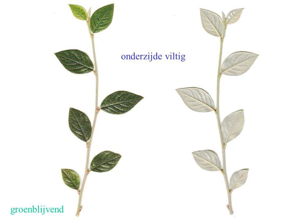Cotoneaster franchetii blad