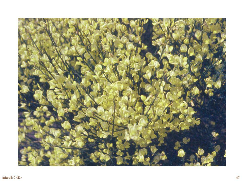 Cytisus x praecox bloei