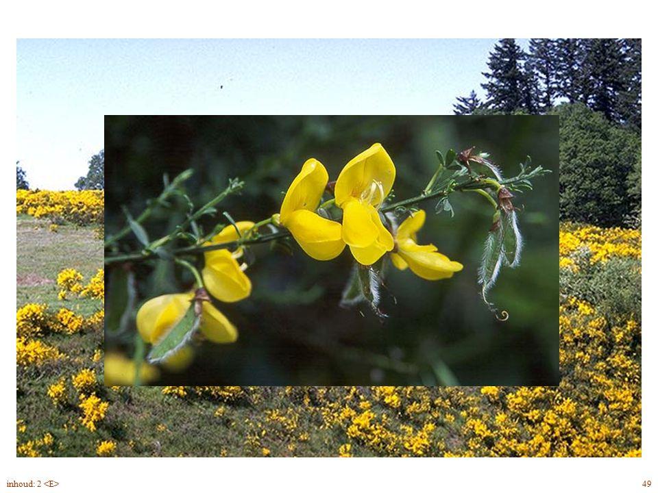 Cytisus scoparius twijg, bloei