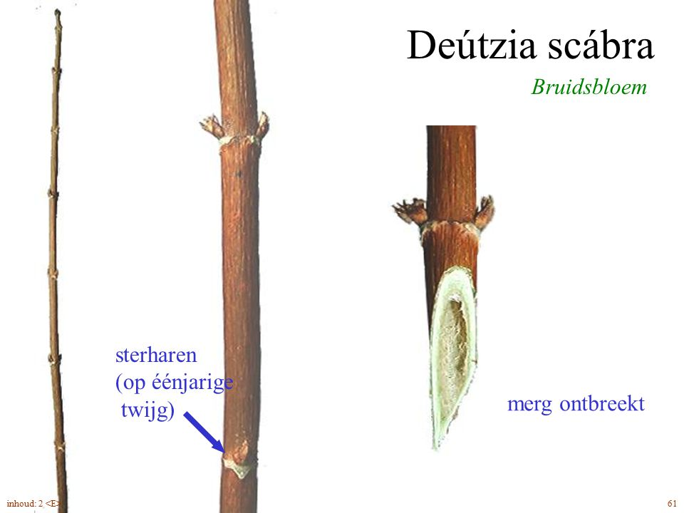 Deútzia scábra Bruidsbloem sterharen (op éénjarige twijg)
