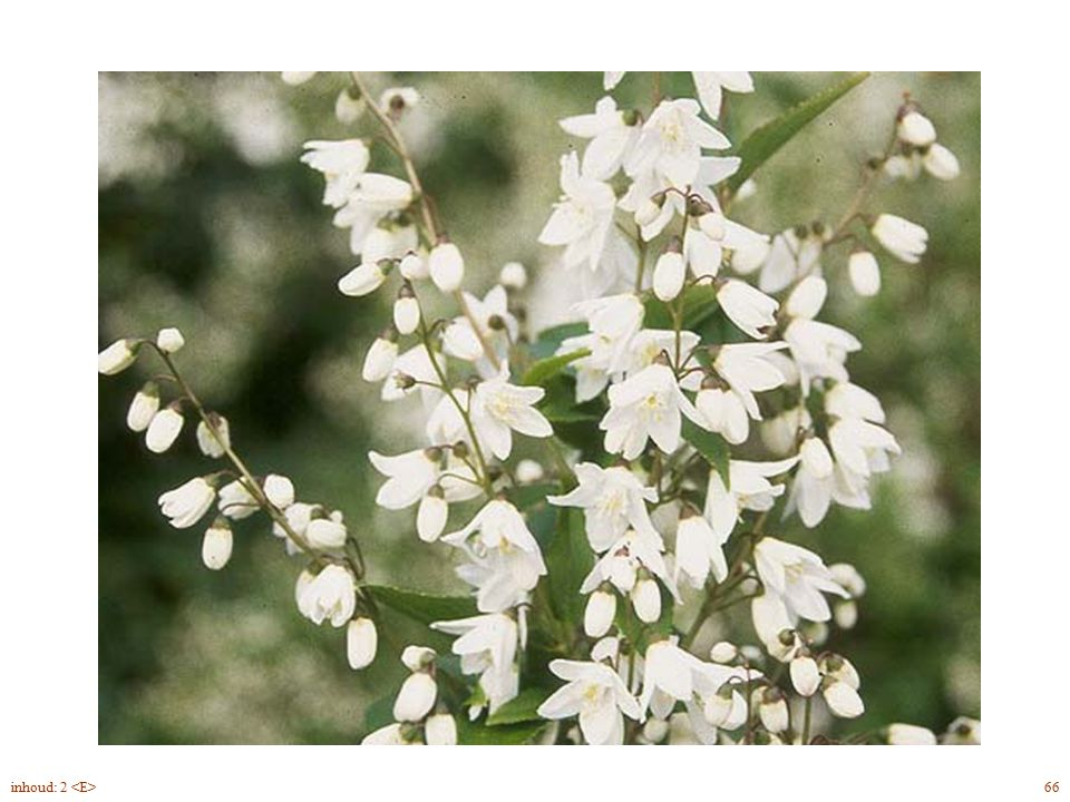 Deutzia gracilis bloem