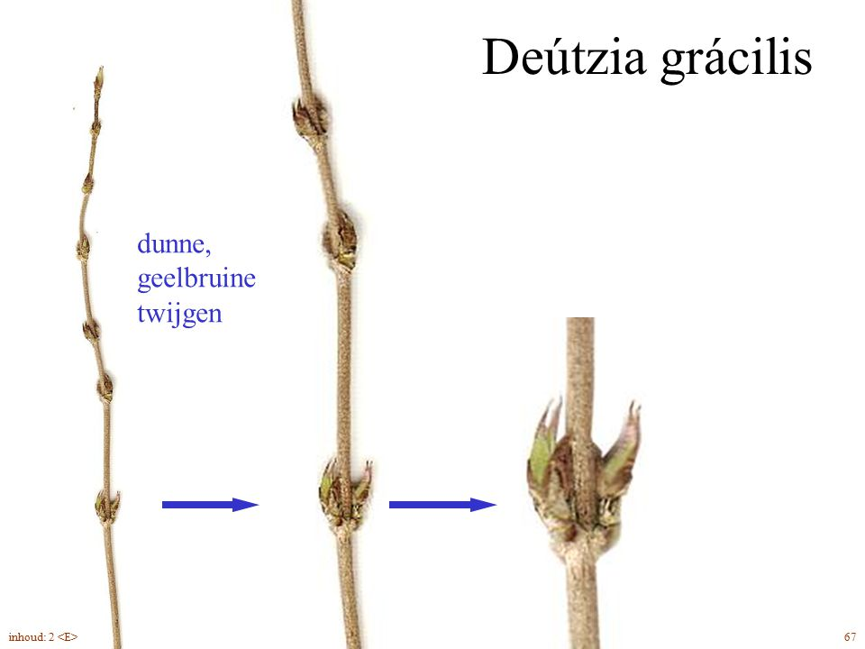 Deútzia grácilis dunne, geelbruine twijgen inhoud: 2 <E> 67