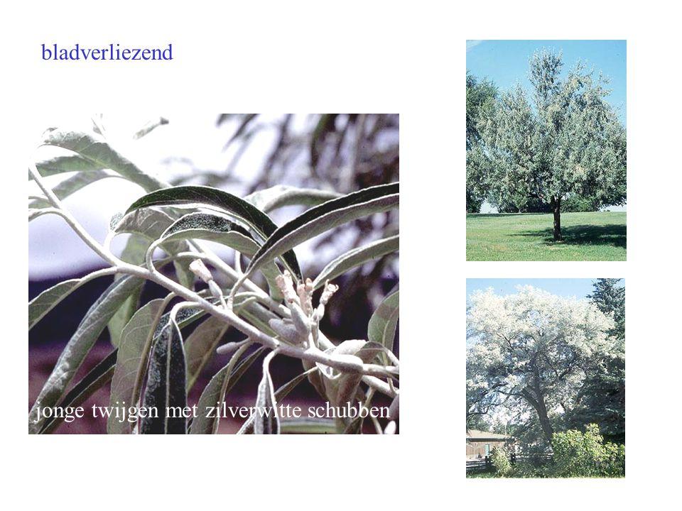 Elaeagnus angustifolia blad boom