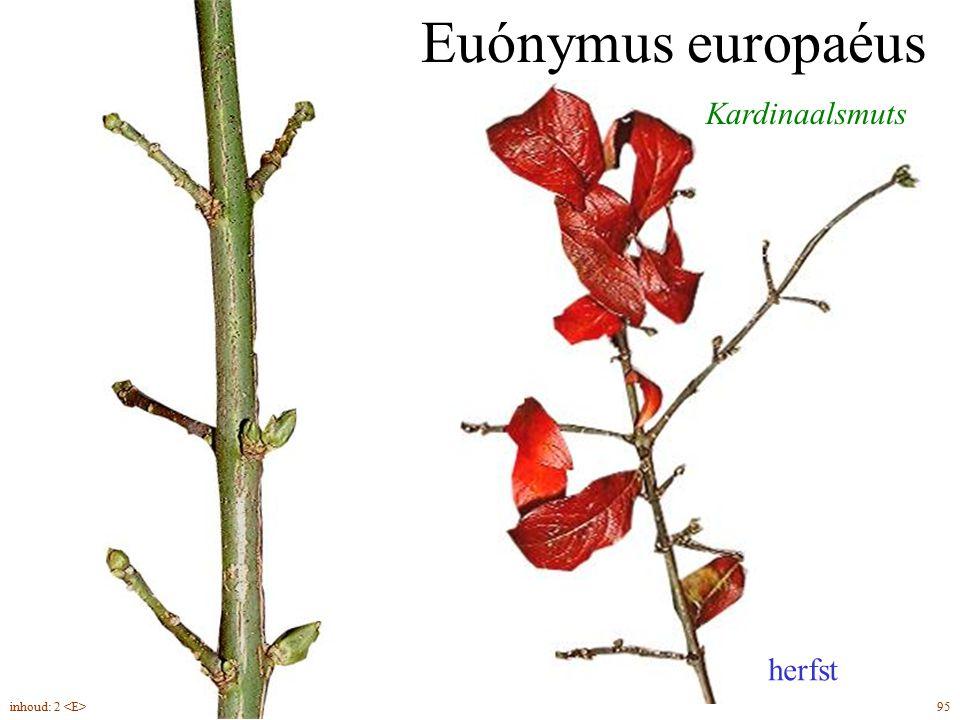 Euónymus europaéus Kardinaalsmuts herfst inhoud: 2 <E> 95