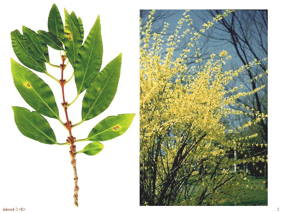 Forsythia x intermedia blad, bloem