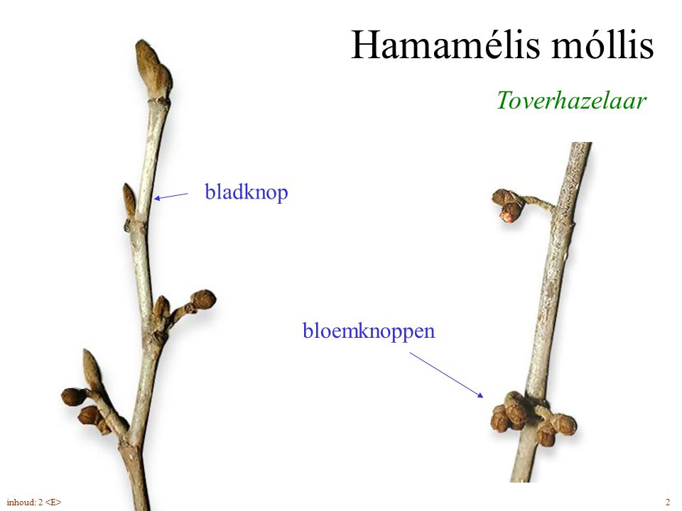 Hamamélis móllis Toverhazelaar bladknop bloemknoppen