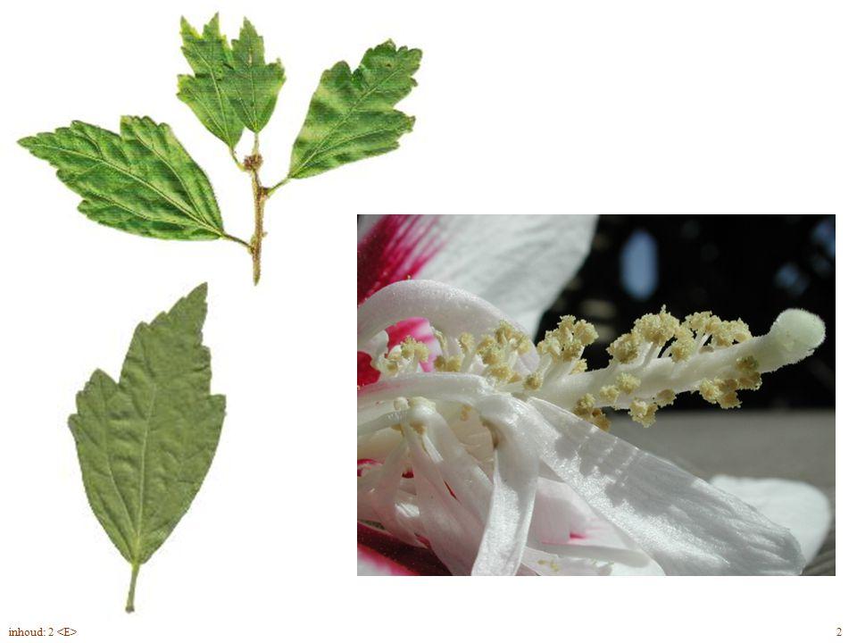 Hibiscus syriacus blad, bloem