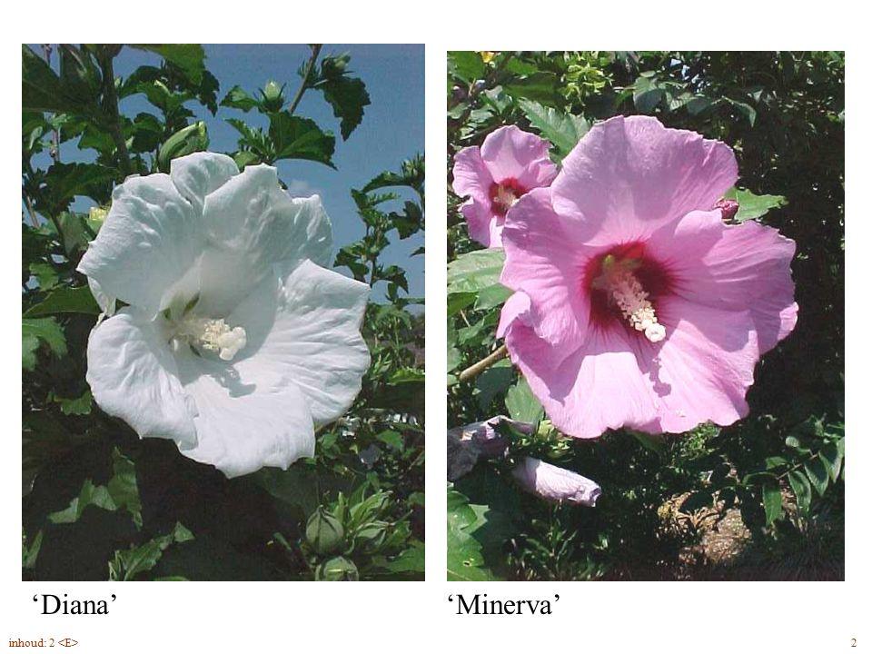 Hibiscus syriacus bloem