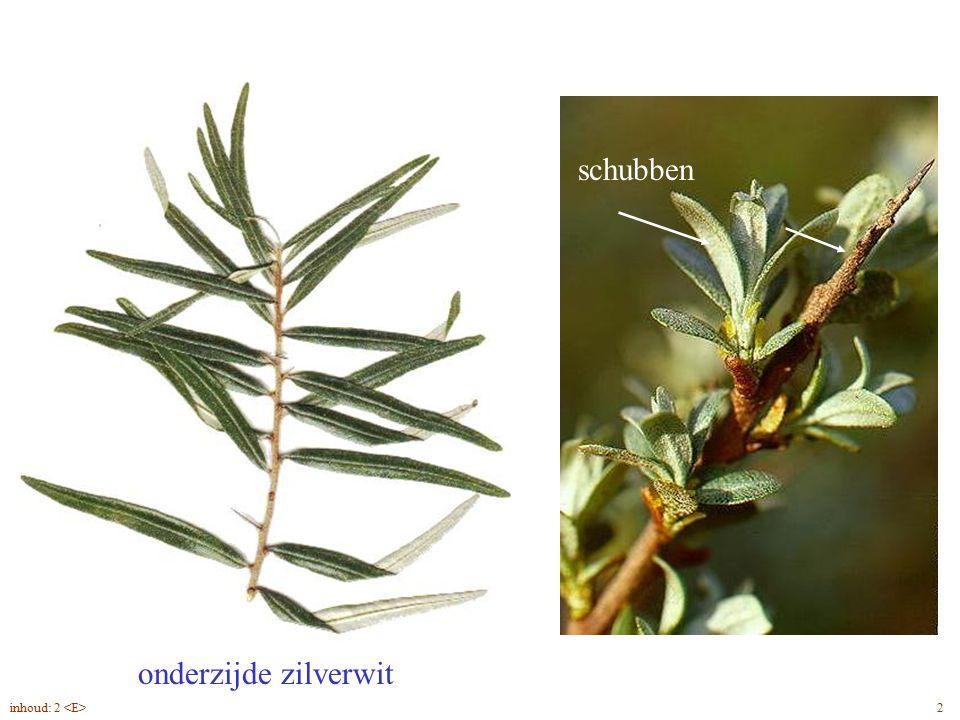 Hippophae rhamnoides blad