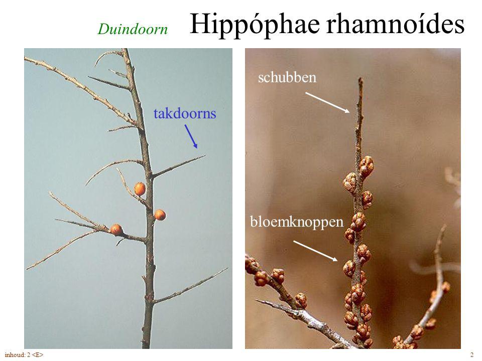 Hippóphae rhamnoídes Duindoorn schubben takdoorns bloemknoppen