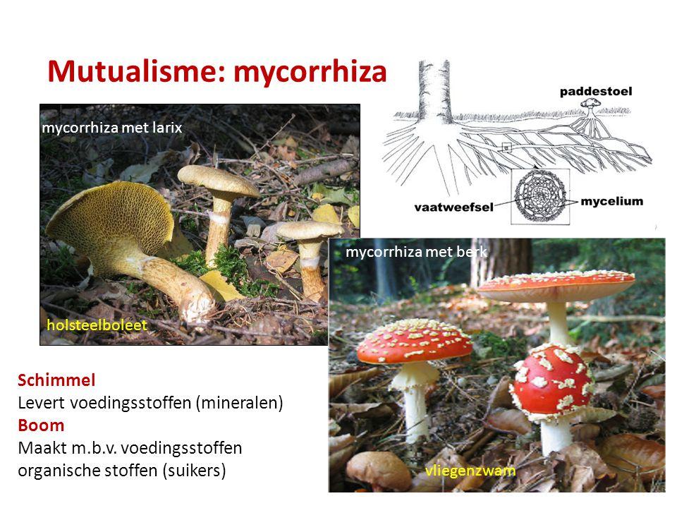 Mutualisme: mycorrhiza