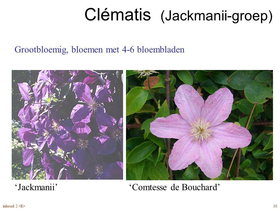 Clématis (Jackmanii-groep)