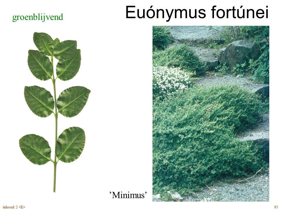 Euónymus fortúnei groenblijvend 'Minimus' inhoud: 2 <E> 95