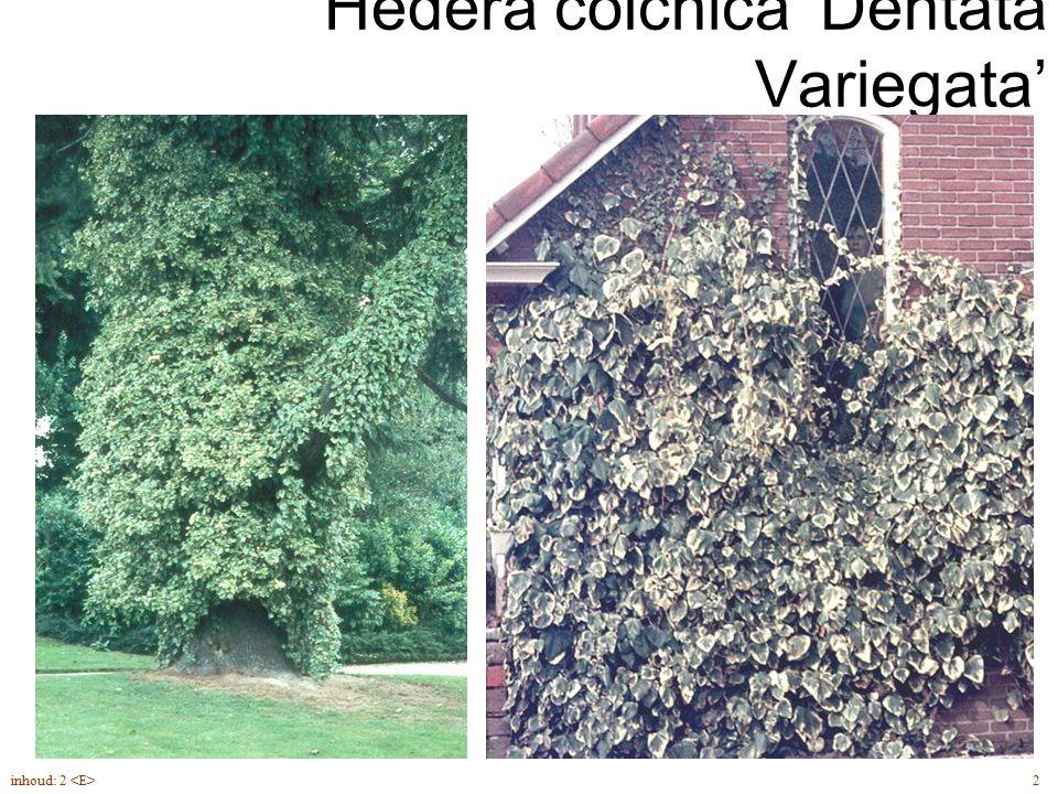 Hédera cólchica 'Dentata Variegata'