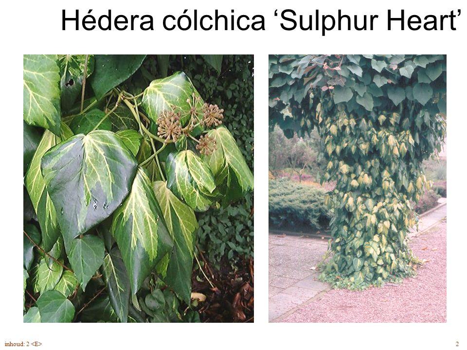 Hédera cólchica 'Sulphur Heart'