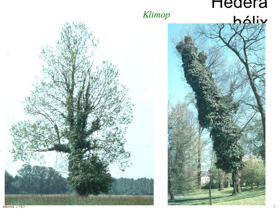 Hédera hélix Klimop blad diep gelobd hecht- wortels klimvorm
