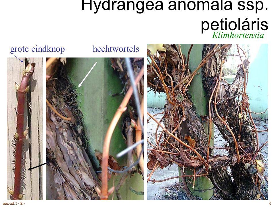 Hydrángea anomála ssp. petioláris