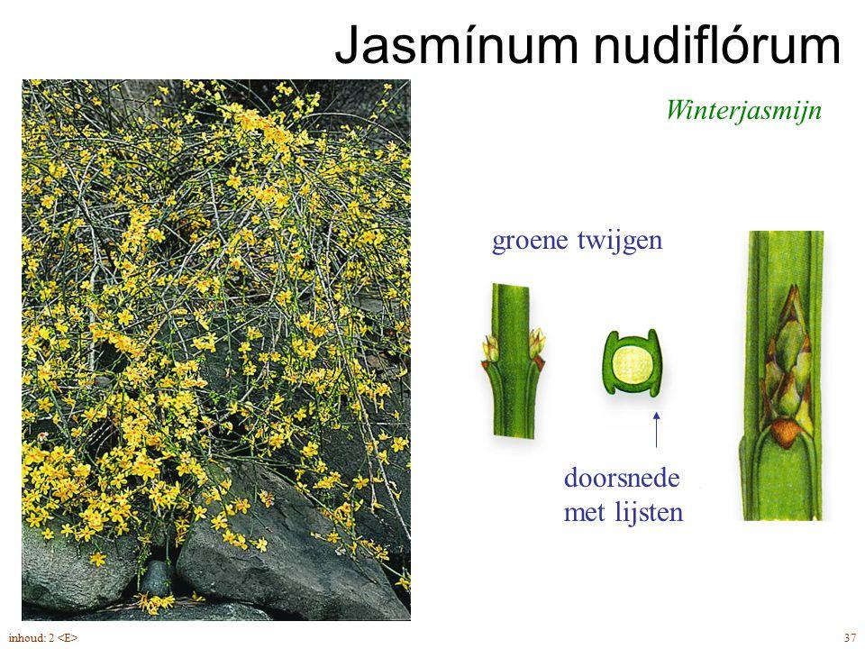 Jasmínum nudiflórum Winterjasmijn groene twijgen doorsnede met lijsten