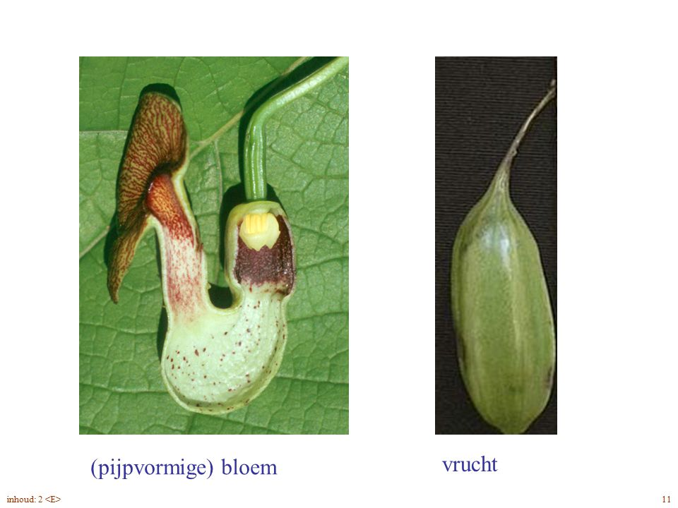 Aristolochia macrophylla bloem, vrucht