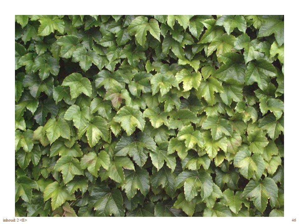 Parthenocissus tricuspidata blad
