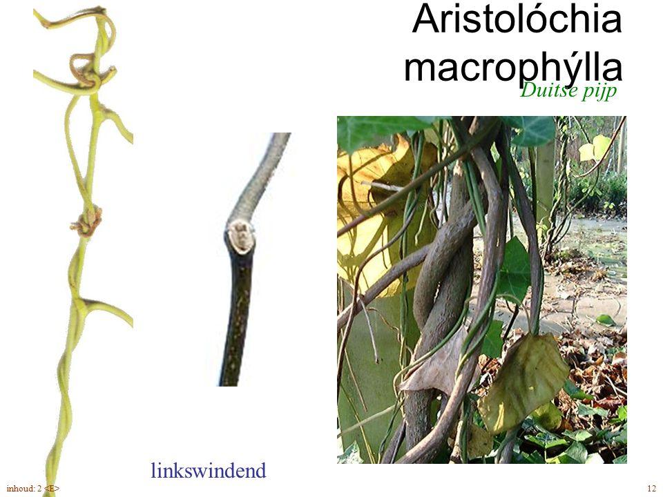 Aristolóchia macrophýlla