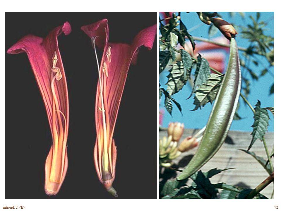 Cámpsis rádicans bloemdoorsnede