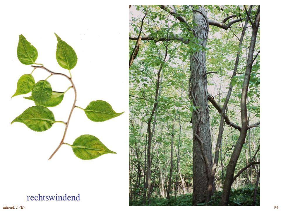 Celástrus orbiculátus blad, slinger