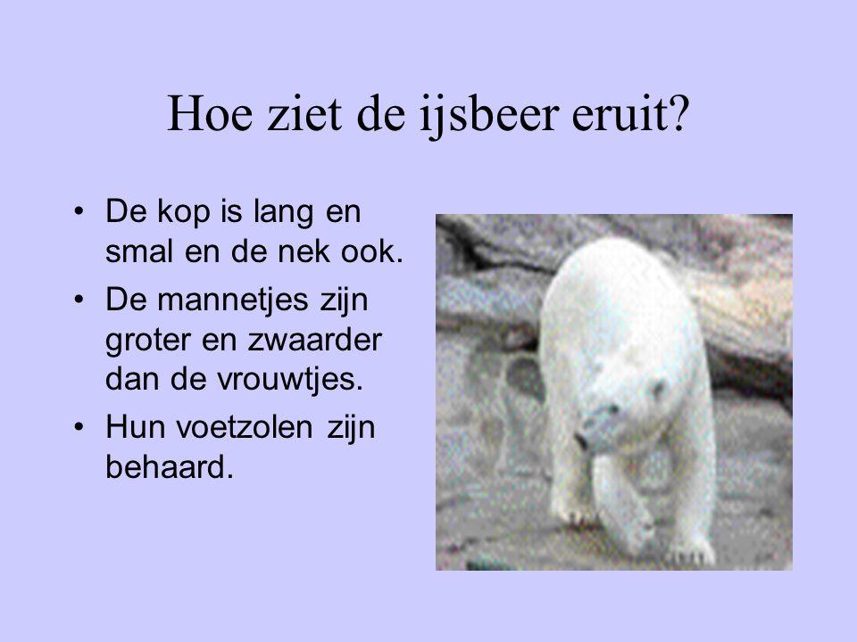 Hoe ziet de ijsbeer eruit