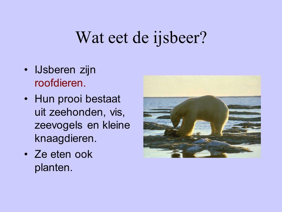 Wat eet de ijsbeer IJsberen zijn roofdieren.