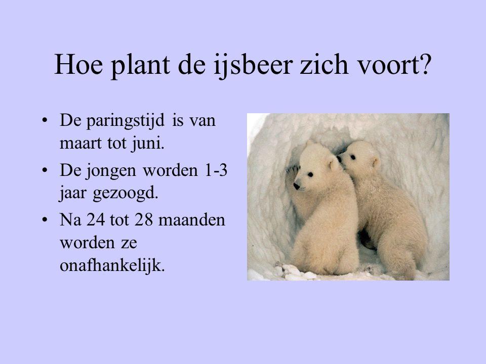 Hoe plant de ijsbeer zich voort