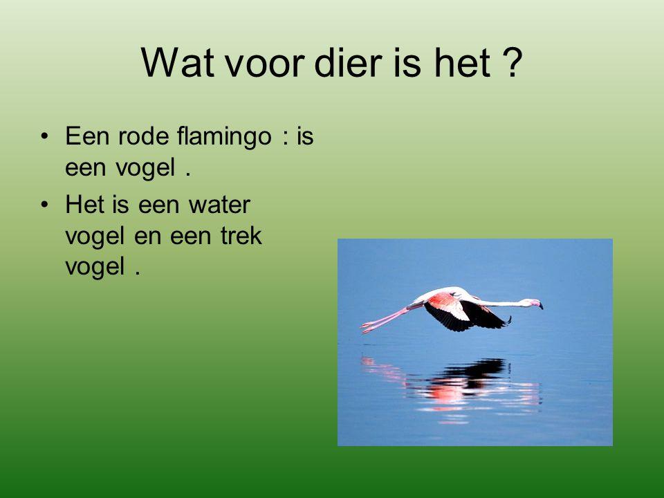 Wat voor dier is het Een rode flamingo : is een vogel .