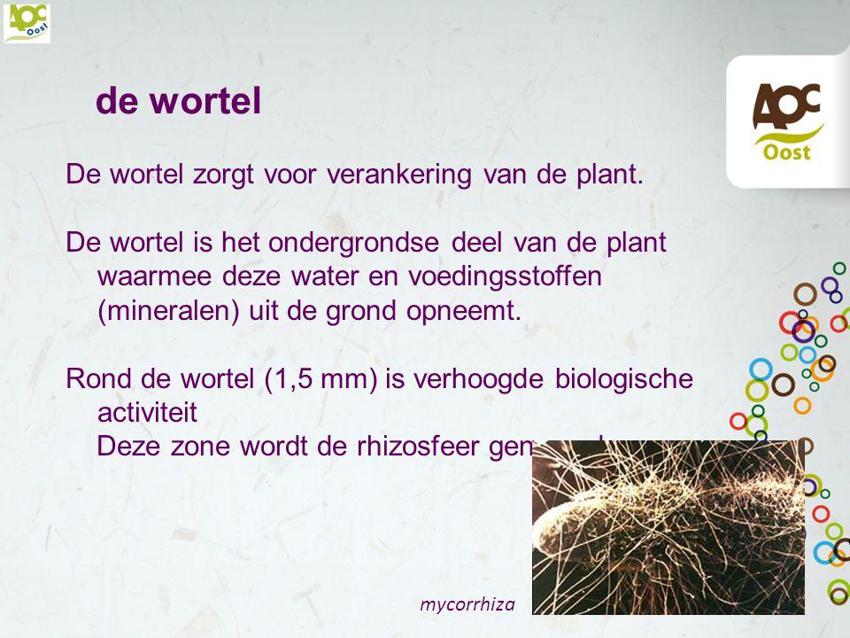 de wortel De wortel zorgt voor verankering van de plant.