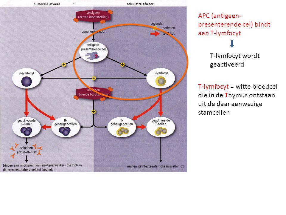 APC (antigeen-presenterende cel) bindt aan T-lymfocyt