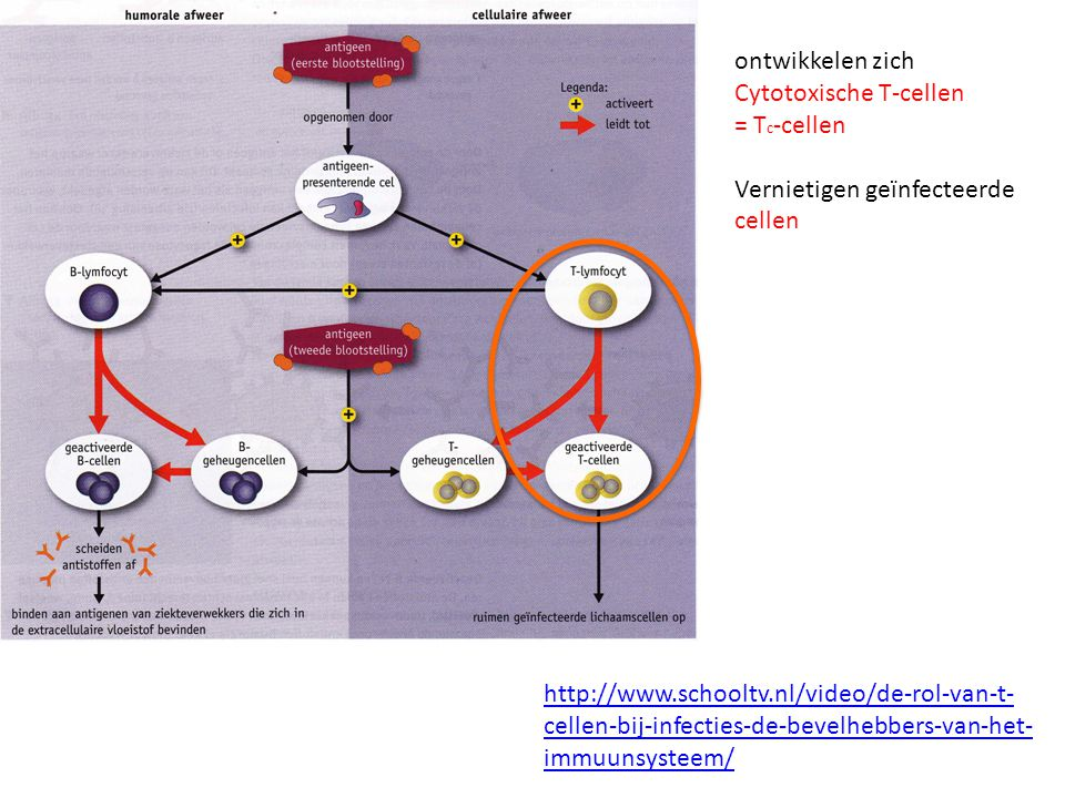 ontwikkelen zich Cytotoxische T-cellen. = Tc-cellen. Vernietigen geïnfecteerde cellen.