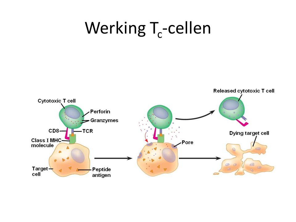Werking Tc-cellen
