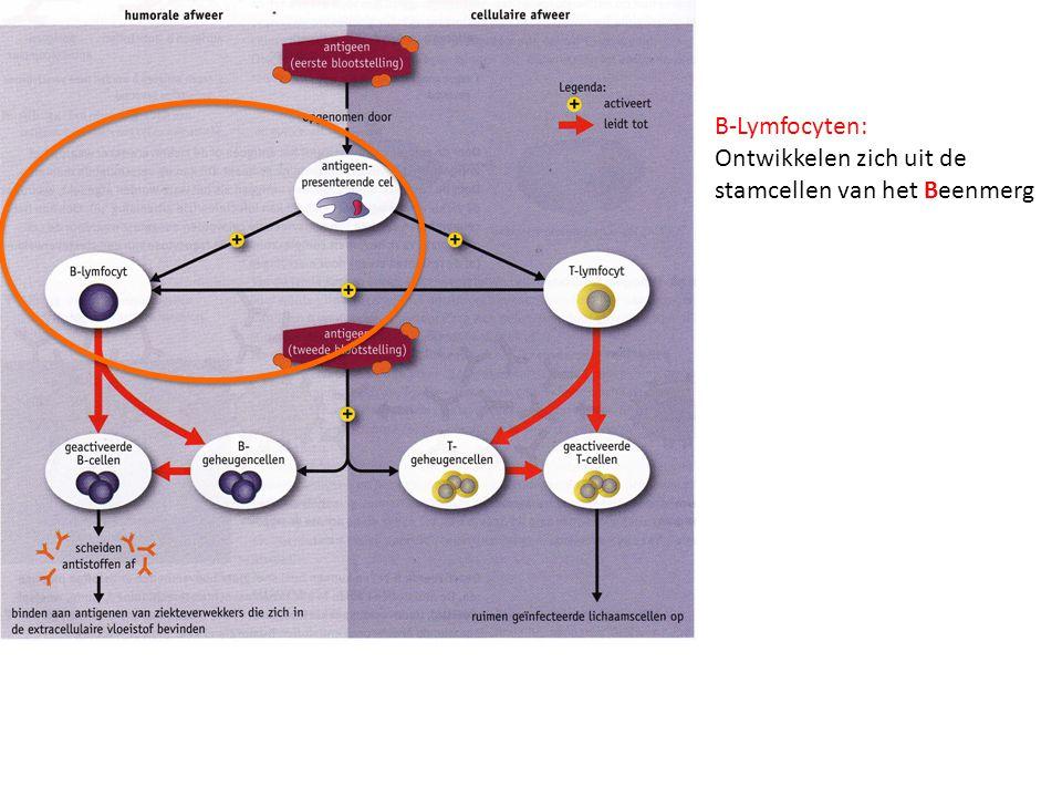 B-Lymfocyten: Ontwikkelen zich uit de stamcellen van het Beenmerg