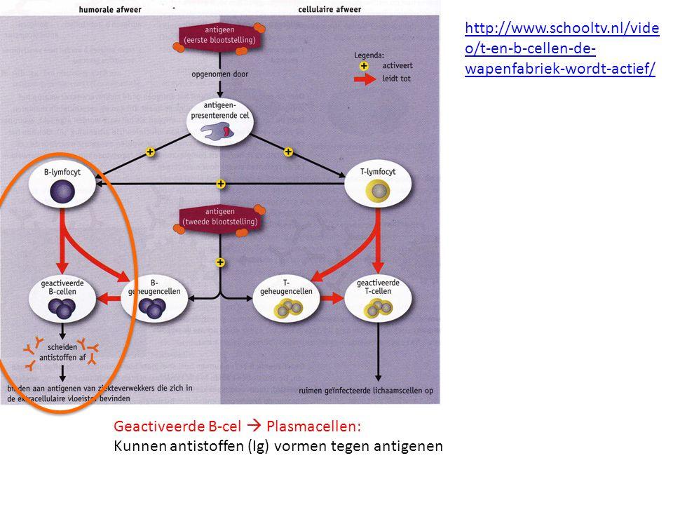 http://www.schooltv.nl/video/t-en-b-cellen-de-wapenfabriek-wordt-actief/ Geactiveerde B-cel  Plasmacellen: