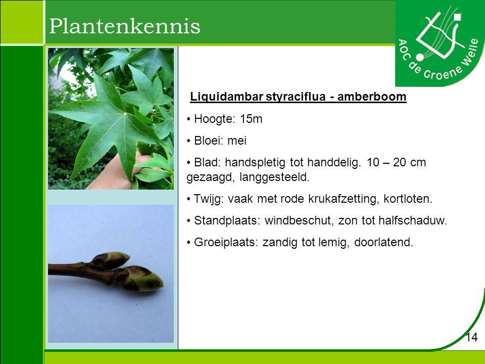 Plantenkennis Liquidambar styraciflua - amberboom Hoogte: 15m