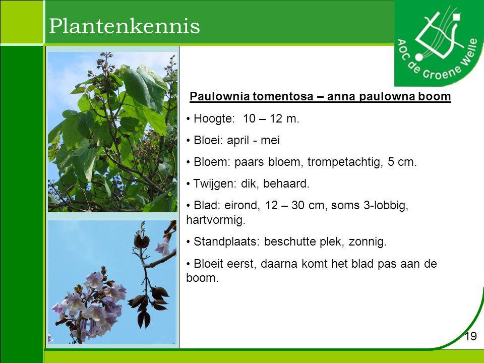 Plantenkennis Paulownia tomentosa – anna paulowna boom