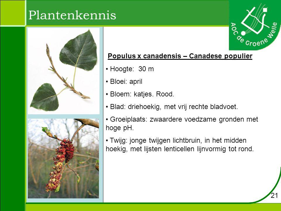 Plantenkennis Populus x canadensis – Canadese populier Hoogte: 30 m