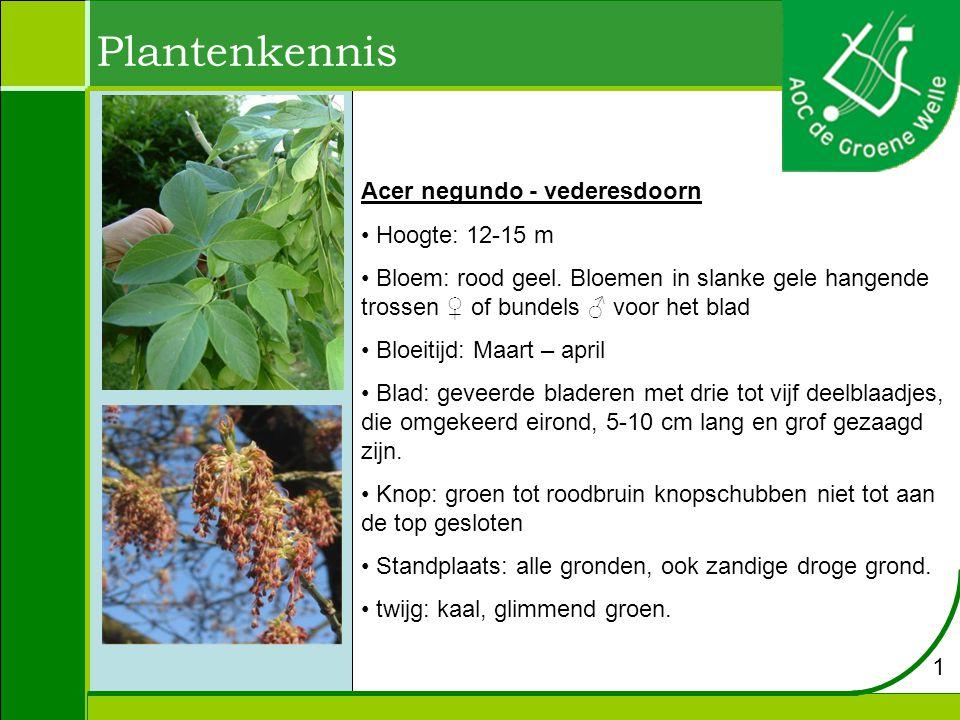 Plantenkennis Acer negundo - vederesdoorn Hoogte: 12-15 m