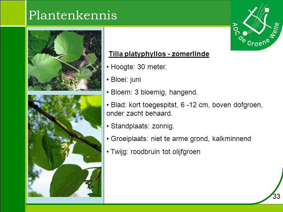 Plantenkennis Tilia platyphyllos - zomerlinde Hoogte: 30 meter.