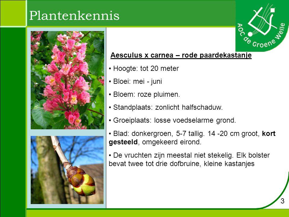 Plantenkennis Aesculus x carnea – rode paardekastanje