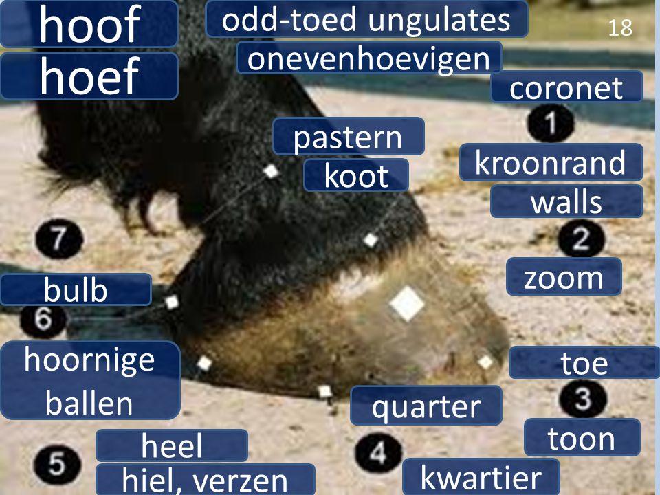 hoof hoef odd-toed ungulates onevenhoevigen coronet pastern kroonrand