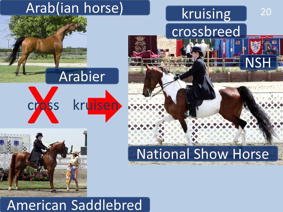 x Arab(ian horse) kruising crossbreed NSH Arabier cross kruisen
