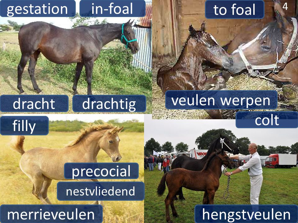 gestation in-foal to foal veulen werpen dracht drachtig colt filly