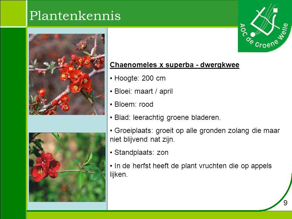 Plantenkennis Chaenomeles x superba - dwergkwee Hoogte: 200 cm
