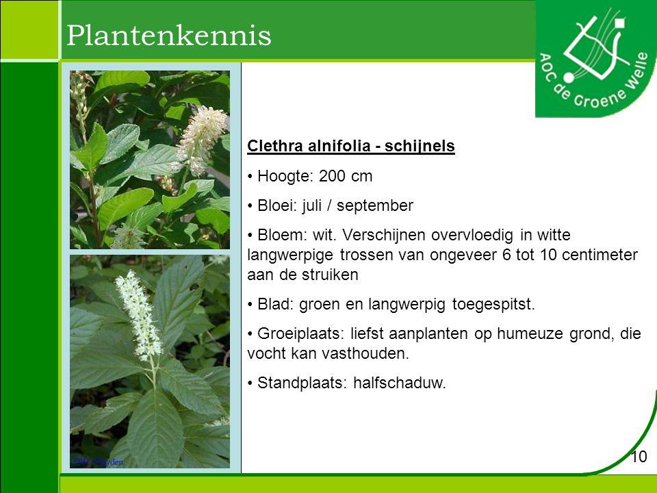 Plantenkennis Clethra alnifolia - schijnels Hoogte: 200 cm
